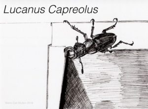 Ink rendering of a lucanus capreolus (beetle)