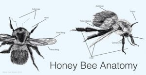 Ink rendering of Honey Bee Anatomy