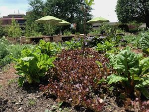 Leafy Greens in Kitchen Garden