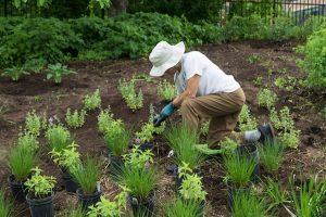 Volunteer in New American Garden