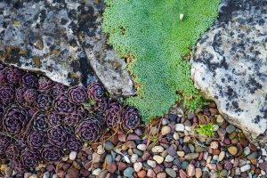 Sempervivum in Rock Garden